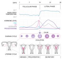 350px-MenstrualCycle2_en_svg.png